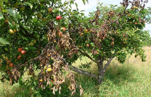 Frutales afectados por el fuego bacteriano en Columbrianos (C.Sánchez / Ical)