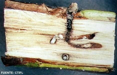 El Xyleborus dispar es un tipo de insecto barrenador de frutales