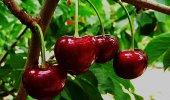 La cereza berciana contará con el sello de Marca de Garantía.