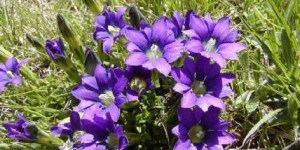 La genciana es una planta medicinal muy valorada por las farmacéuticas que crece en zonas de montaña