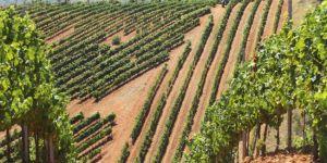 cepas vino vendimia