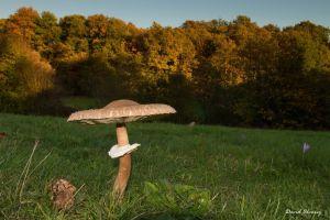 Macrolepiota, especie muy común en otoño, que aparece en prados abiertos y soleados