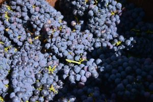 Uvas con las que se realizó la ofrenda del primer mosto del año. / QUINITO