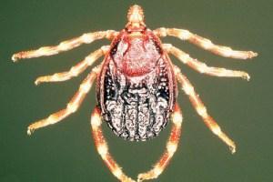 Aunque hay varios géneros de garrapata que pueden verse infectados por el virus de la fiebre hemorrágica de Crimea-Congo, Hyalomma constituye el vector principal. / Wikipedia