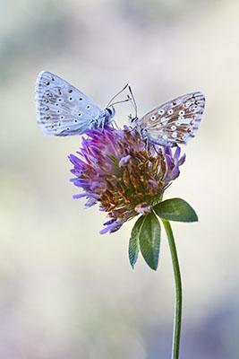 Pareja de Polyommatus coridon (couple of chalkhill blue)