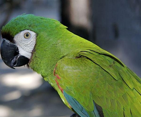 Cute Parakeet Wallpaper Aras Perroquets Perroquets D 233 Levage