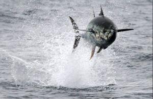 Flying Tuna
