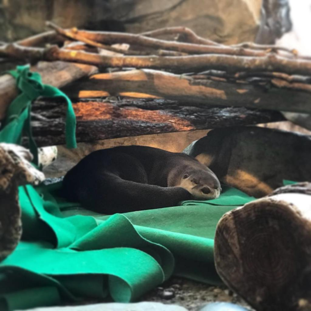 River otter nap time