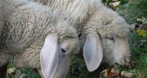 ovejas borregos idiotas