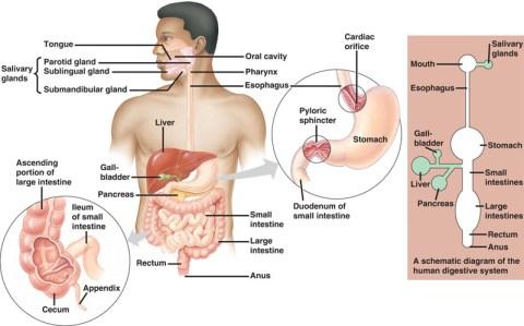 Sistemul digestiv uman