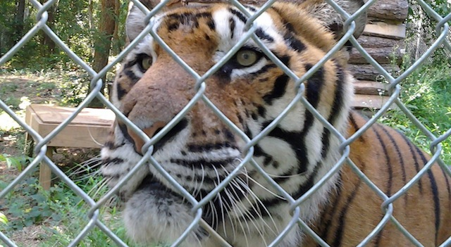 Carolina-Tiger-Rescue-Internship-Tiger-face-featured