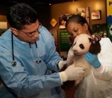Panda cub exam at the National Zoo.