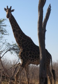 male-giraffe-Botswana-pre-veterinary-internship