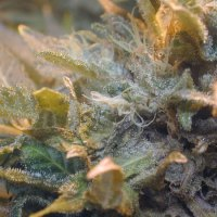 Why Testing Weed for Fungus May Save Your Life