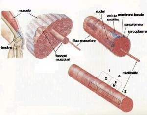 300px-Struttura_muscolare