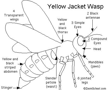 DESCRIPTION OF BEES AND WASPS - Auto Electrical Wiring Diagram