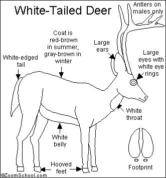white tailed deer diagram
