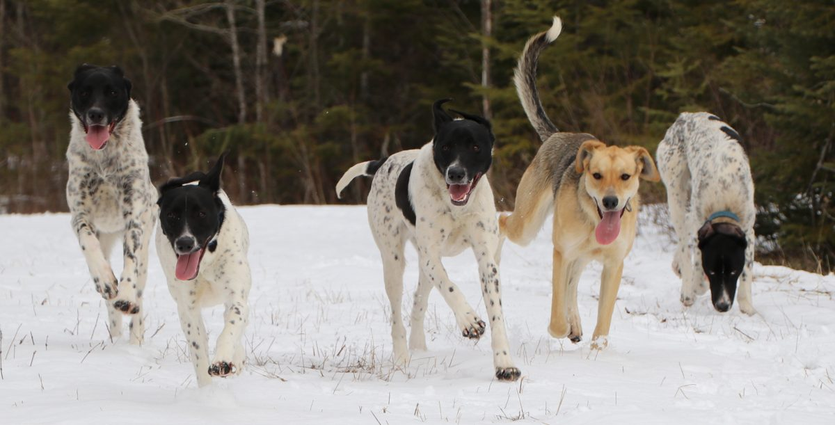 How Much Is A Sled Dog Team Worth?