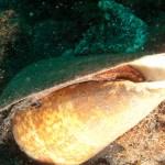 Cono (Conus pulcher canariensis), Muelle de Garachico - 31122010