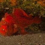 20110528 1654 - Pez esponja o Antenario (Antennarius nummifer), Punta Prieta-2