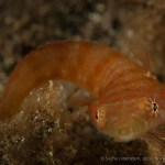 20110530 1101 - Chupasangre (Lepadogaster candollei), Teno