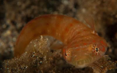 Chupasangre (Lepadogaster candollei)
