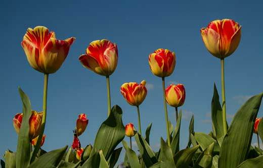 tulipes-hollande