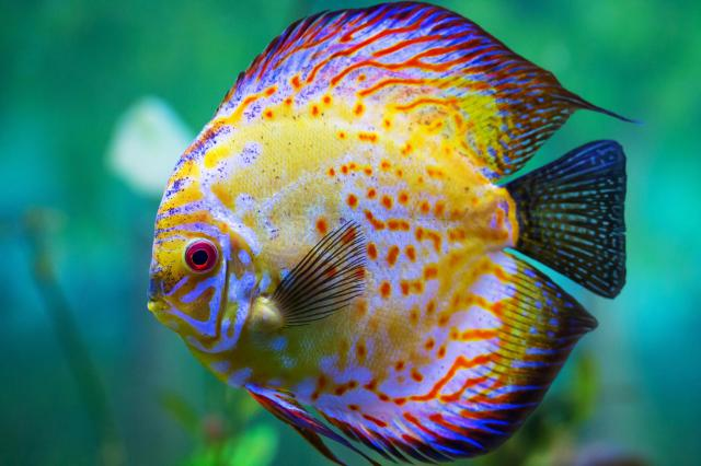 care for discuses are also known as pompadour fish a reference to