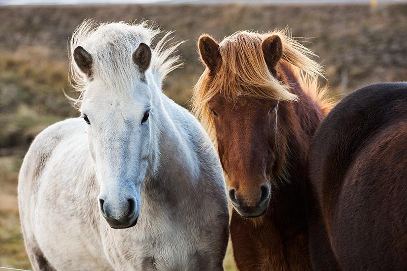 Girl Mustang Wallpaper Pareja De Caballos Islandeses Entrepixels 183 Dise 241 O