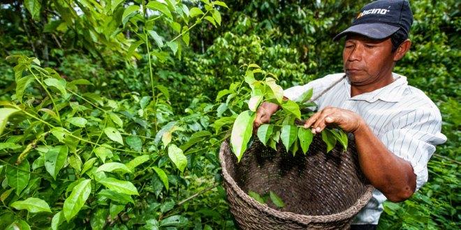 récolte de la Guayusa