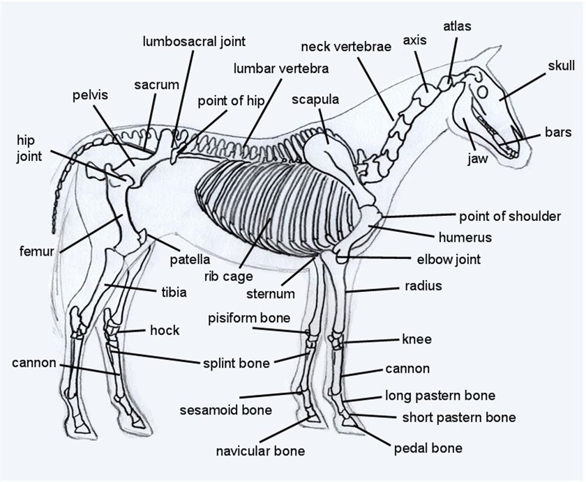 horse of a skeletal system diagram to label