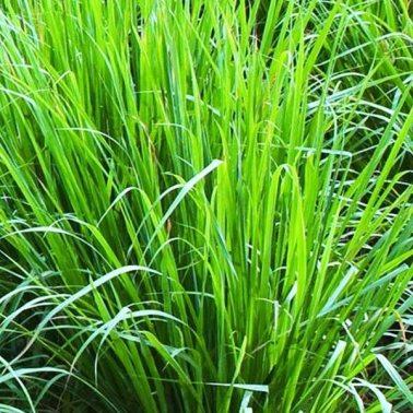Pianta-Citronella-o-Lemon-Grass1