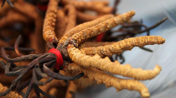 cordyceps_sinensis