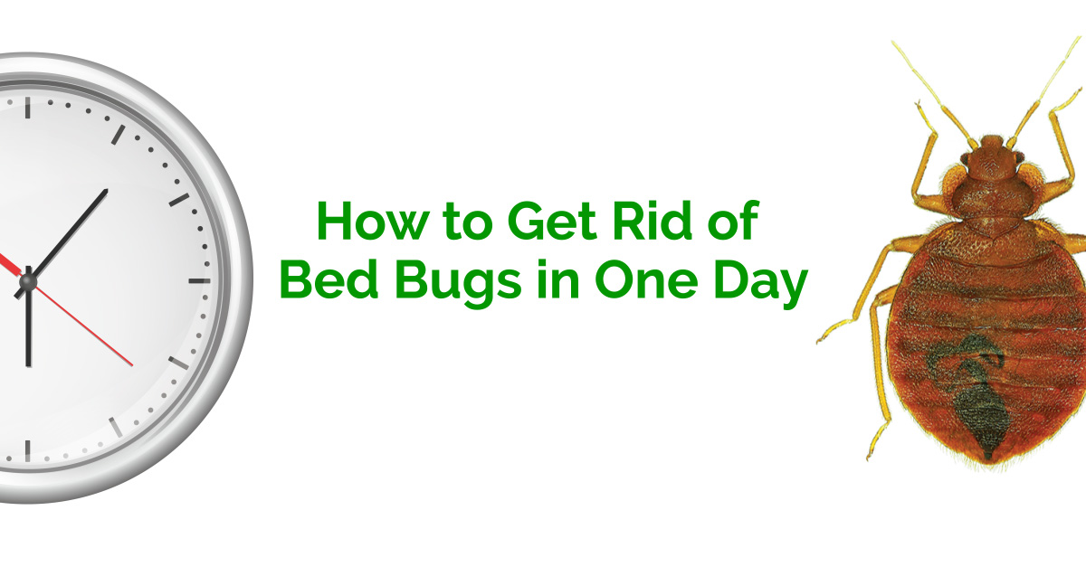 How To Get Rid Of Bed Bugs In One Day Erdye39s Pest Control
