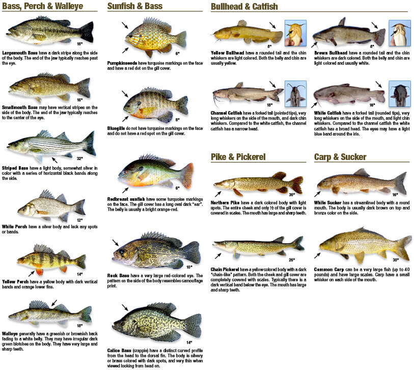A Guide to Catchable Freshwater Fish Connecticut Fishing