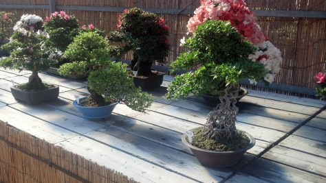 There were many bonsai on display near Nagoya Castle. I love bonsai!