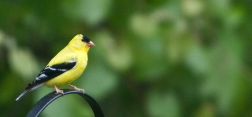 Goldfinch Up Close