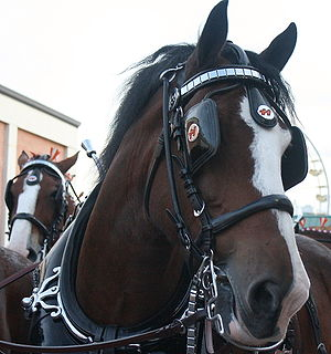Clydesdales. The horse in the background looks...