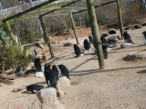 Living Coasts - penguins