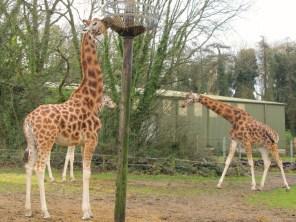 Paignton Zoo - giraffes