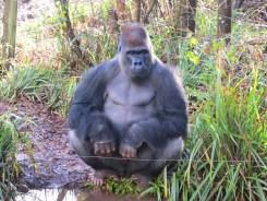 Paignton Zoo - gorilla
