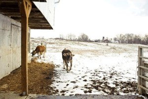 Our barn's free stall is open to the pasture and stream just like the ones in the book. This wintery scene is very much like the day Elizabeth is called in to investigate the body found in an Amish barn.