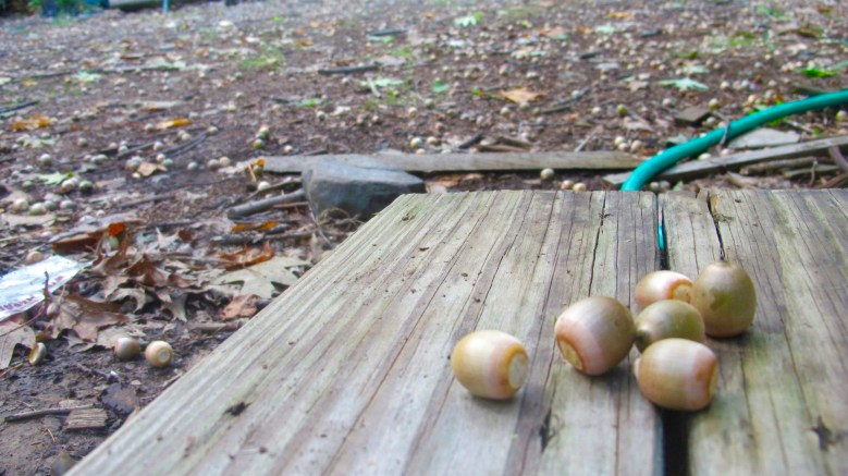 How many acorns do you see in this photo??