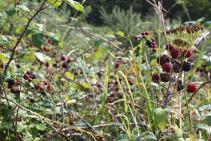 Frutos silvestres: Moras de zarza