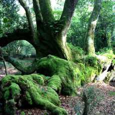 Árbol monumental: Roble tumbado