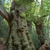 Árbol monumental en Monte Aá