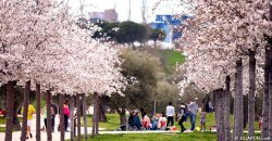 フアン・カルロス・プリメロ公園の桜が満開