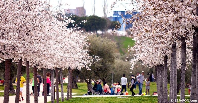Florecen los cerezos del Parque Juan Carlos I de Madrid
