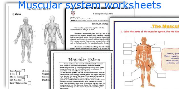 Muscular System Worksheet - Oaklandeffect