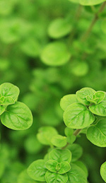 Oregano Oil and Its Powerful Antiviral Properties
